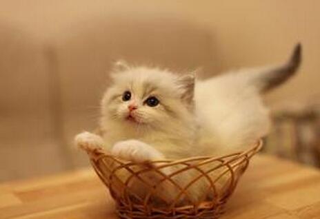 布偶猫如何喂养?喂养的注意事项有哪些?